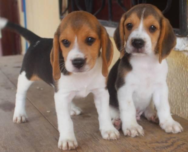 Beagle Tudo Sobre A Ra 231 A De Cachorro Beagle