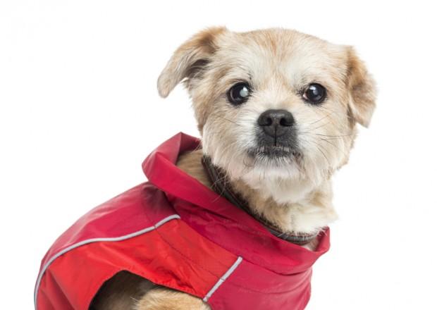 cão com brucelose