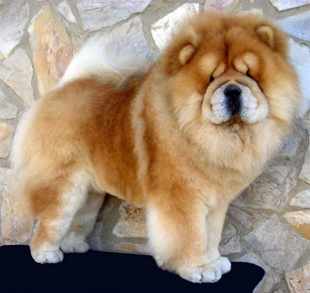 chow chow fofo