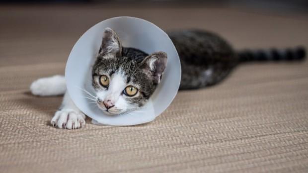 gato com filariose