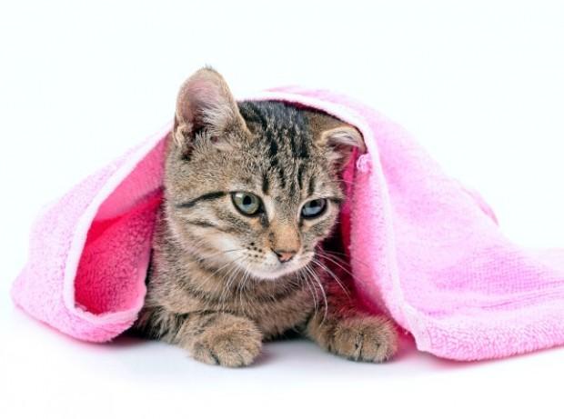 gato secando