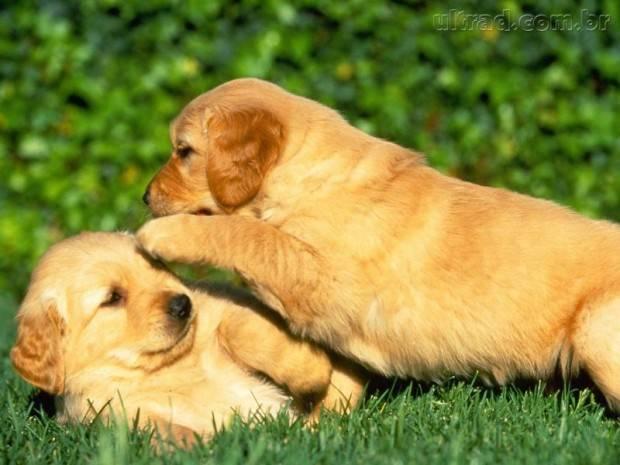 golden retriever filhotinhos
