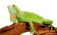 iguana em viveiro