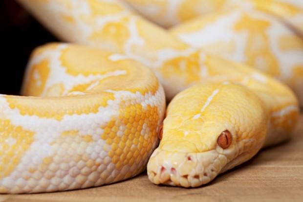 piton albina
