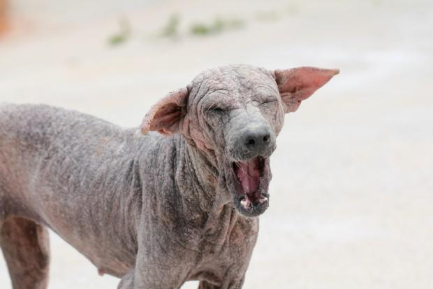 cachorro com sarna